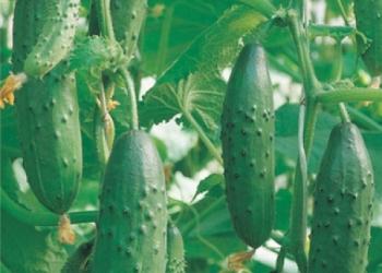 Продам семена-Огурец Емеля F1, дружный, устойчивый,хладостойкий