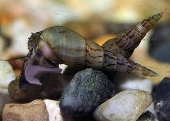 Улитка Мелания (Melanoides )
