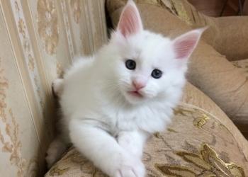 Мейн-кун котята резервирование