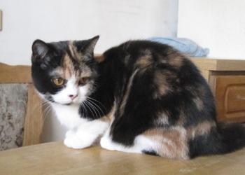 Британская кошка биколорного окраса