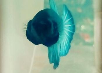 Betta Splendens HalfMoon (Рыбка петушок Халфмун)
