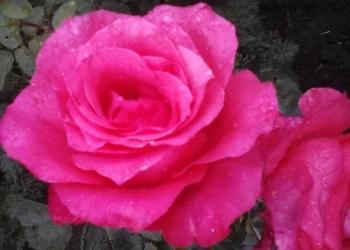саженцы ароматных роз