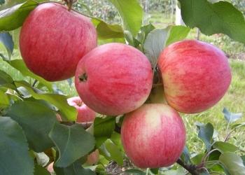 Плодовые, лиственные и хвойные саженцы