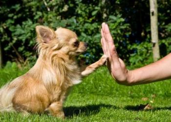 Дрессировка собак с 1,5-месячного возраста.