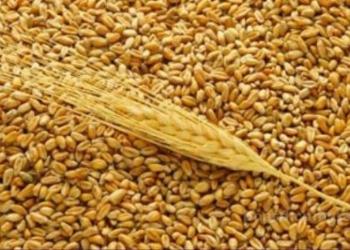 Продаю  зерно