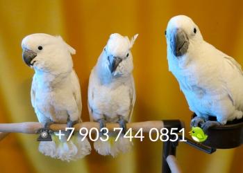 Белохохлый какаду (Cacatua alba) - ручные птенцы из питомников Европы