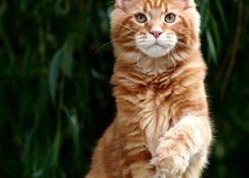 Мейн Кун, котенок,кот Роналд