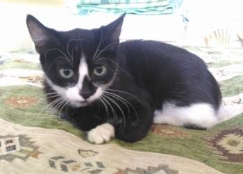 Кошечка Клякса- игривая, ласковая