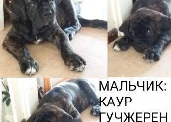 Продам щенков КАНЕ КОРСО