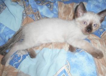 Котята сиамские возраст 3 месяца