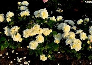 Саженцы розы отечественной селекции