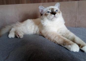 Бирманская кошка (Священная Бирма) - продаются котята