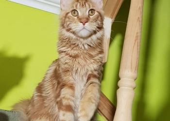 Котенок Мейн Кун для дома