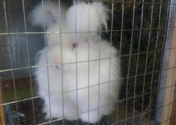 Продаются крольчата пуховые породы немецкой Ангоры