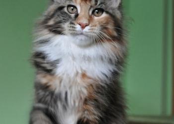 Котята мейн-кун и полидакты