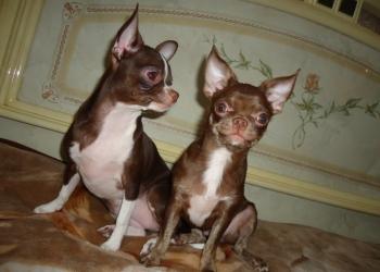 Предлагаются шикарные щенки чихуахуа шоколадного окраса