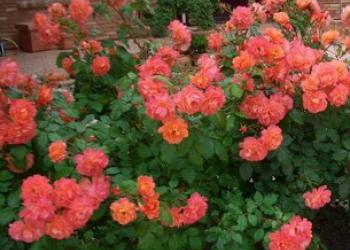 Саженцы роз, деревьев и кустарников оптом и розницу.