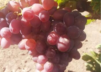Виноград оптом