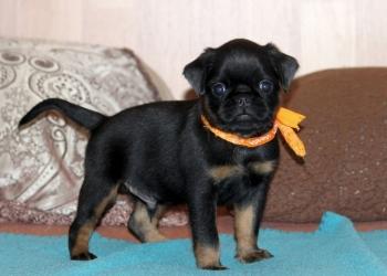 Продаются щенки породы  малый Брабансон.