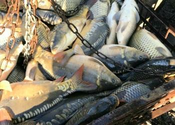 Живая рыба карп, толстолобик,белый амур,карась