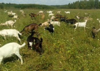 Продаю коз