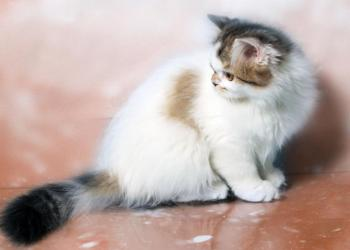 Шотландские клубные котята с родословной