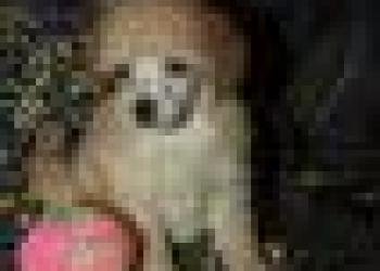 Карликовый пудель щенки