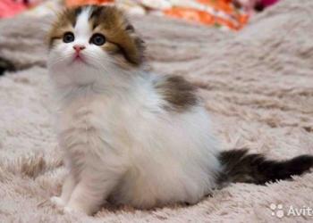титулованные шотландские котята