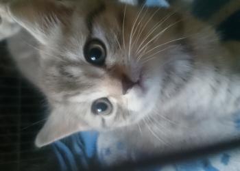 Котятки 1,5мес