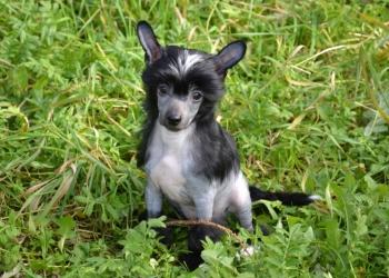 Красивый породистый щенок-мальчик китайской хохлатой