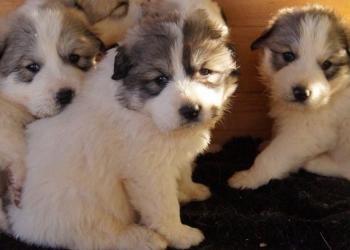 Щенки горной пиренейской собаки