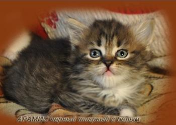 Сибирские котята от Чемпионов