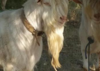 Продаётся поголовье зааненских коз