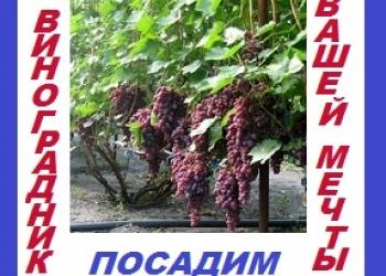 Посадим виноградник со своим посадочным материалом