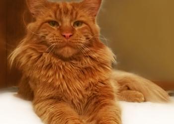 Котенок мейн кун красный солид. Шоу класс.