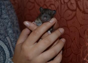 Крысята разного окраса ,мальчики и девочки