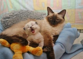 Передержка кошек в квартире .