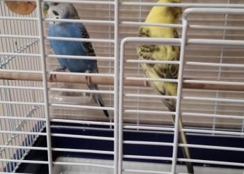Волнистые попугаи с большой клеткой