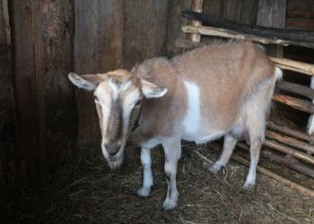 Распродажа домашних коз с хорошим удоем