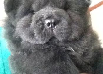 Продам щенков Чау чау