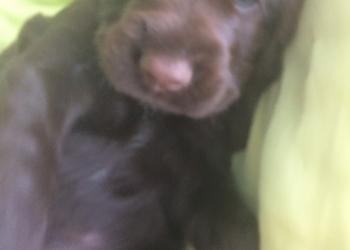 Продам щенка лабрадор