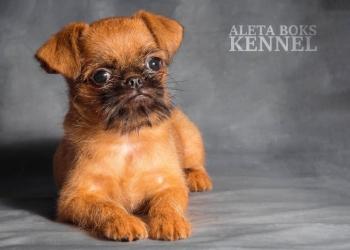 Лучший друг Брюссельский Гриффон. Идеальная собака для семьи!!