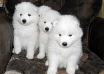 Щенки самоедской собаки (самоедская лайка)