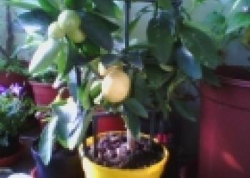 саженцы лимона.