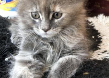 Кошечка мейн-кун ищет дом