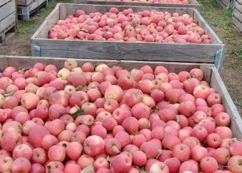 Яблоки на переработку