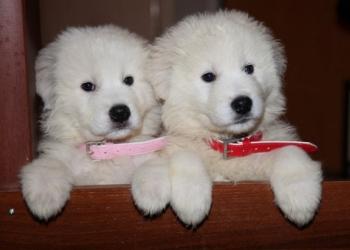 Продам Алиментного щенка Мареммо-абруцкая овчарка 50000 руб.