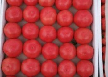 Дагестанские тепличные розовые помидоры