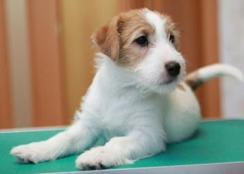 Продам  очаровательного щенка Джек Рассел Терьера c отличной родословной!