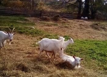 Козочки и козлики на мясо